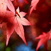 Red momiji leaves in the warm morning light of autumn. Photographed at Kita no Tenman-gu in Kyoto, Japan.