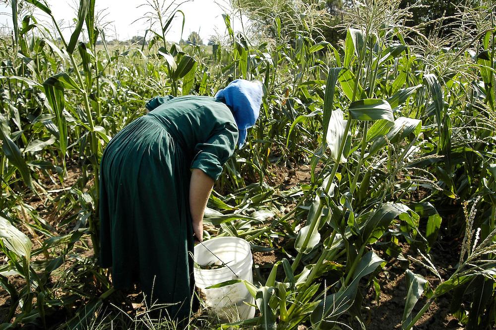 Récolte du maïs. Les Petersheim, installés comté de Clark depuis quatre générations, ont onze enfants de 5 à 23 ans. Pendant l'été, alors qu'il n'y a pas école, tous prennent part aux activités quotidiennes de la ferme et des récoltes. Sur leur exploitation de 162 hectares, la taille moyenne d'une ferme Amish, ils cultivent de l'avoine, du blé, du maïs, du soja, du sorgo et du millet en suivant des techniques écologiques traditionnelles. Ils ont également 40 chevaux, 25 vaches et un petit élevage de poules et cochons.<br /> <br /> Corn harvest. The Petersheim, established in Clark county since four generations, have eleven children from 5 to 23 years old. During the summer, whereas the school is closed, all take part in the daily activities of the farm and with harvests. On their exploitation of 162 hectares, average size of an Amish farm, they cultivate oat, wheat, corn, soy beens, sorgo and millet following ecological techniques. They also have 40 horses, 25 cows and a small breeding of hen and pigs.