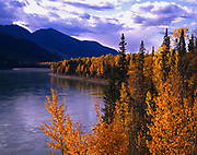 Autumn colors of balsam poplars mixed with white spruce growing along the Liard River near the Alaska Highway, northern British Columbia, Canada.