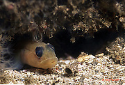 Family: Goby - Gobüdae Inhabit sandy areas near rocky outcropings, reefs and in vicinity of docks. Live in protective recesses. Santa Cruz Island