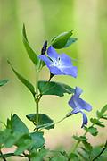 Greater Periwinkle, Vinca major, Monkton Nature Reserve, Thanet Countryside Trust, Kent, UK, purple, blue flowers