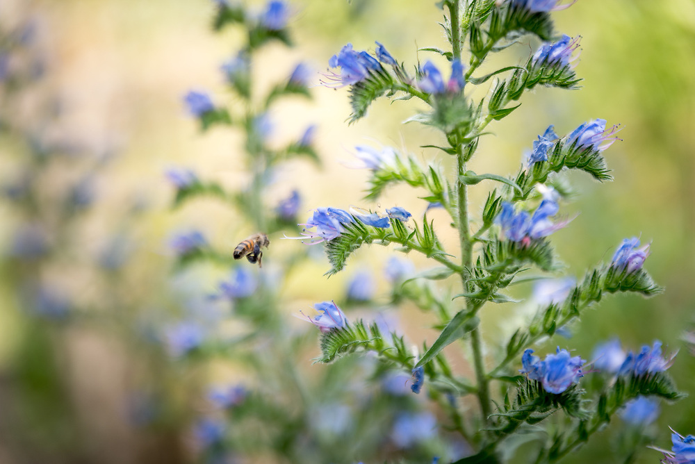 Bees at work, in the neighbourhood of Grund, Luxembourg.