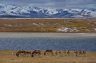 Kiang, (Equus kiang),Keke Xili, Changtang,Tibetan Plateau, Qinghai, China