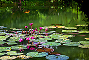 Red flowers growing up out of a pond with green lilly pads floating in a small group. The pond's reflects the growth and a lady in orange bending over by the bank. RAW to Jpg