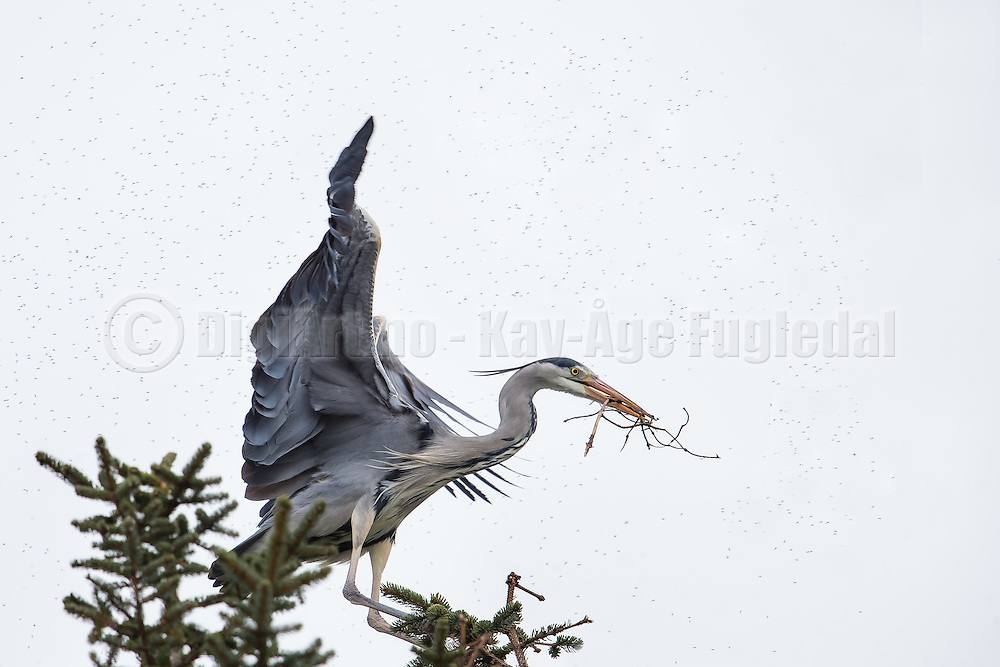 Gray Heron, with a branch in it's beek, attacked by mosquitoes   Gråhegre, med en gren i nebbet, blir angrepet av mygg.