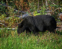 Mother Black Bear alongside the Alaska-Canada Highway. Image taken with a Nikon D700 camera and 70-300 mm f/4 lens (ISO 200, 300 mm, f/7, 1/200 sec).