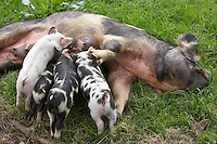 young piglets sucking milk from their mother pig