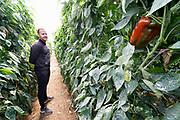 Spanje, El Ejido, 8-11-2019In dit deel van Andalucie worden veel groenten en fruit verbouwd die hun weg vinden via de export naar o.a. Nederland . Het wordt de zee van plastic genoemd omdat de kassen opgebouwd zijn van houten of metalen palen bedekt met zwaar plastic. Komende zondag zijn er algemene verkiezingen in Spanje en de populistische partij Vox heeft hier een grote aanhang. In de kassen werken voornamelijk migranten uit Afrika, en arbeidsmigranten uit Oost-Europa die een laag loon uitbetaald krijgen, afhankelijk van de werkgever. Er wordt door de tuinders en transportbedrijven goed verdiend maar de boeren vinden dat ze teveel negatieve aandacht krijgen in de media van noord-europa. De migranten zijn zich ervan bewust dat ze van veel de schuld krijgen terwijl ze toch het werk doen wat de Spanjaarden niet willen...Deze tuinder heeft juist zijn extra grote rode papriks geoogst en verstuurd naar Londen, Engeland . De afgekeurde exemplaren laadt hij in een vrachtwagentje waarna ze aan de schapen en geiten in de buurt gevoerd worden. Hij heeft samen met zijn broer als zoon het bedrijf van vader overgenomen. Nu zijn de prijzen laagn maar dat hoort bij de landbouw, tuinbouw zegt hij . Foto: Flip Franssen