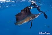 Jesse Cancelmo photographs Atlantic sailfish, Istiophorus albicans, hunting sardines off Yucatan Peninsula, Mexico ( Caribbean Sea ); sailfish has scars from recreational catch-and-release fishery; MR 403