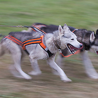 Dogs compete during the FISTC Dog Cart European Championships in Venek (about 136 km Norht-West of capital city Budapest), Hungary on November 22, 2014. ATTILA VOLGYI