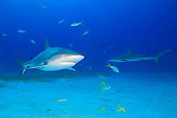 Caribbean Reef Sharks, Carcharhinus perezi, and Yellowtail Snappers, Ocyurus chrysurus, over coral reef, West End, Grand Bahamas, Atlantic Ocean