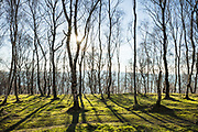 The late afternoon sun casts amazing shadows into the foreground of this scene of the silver birch woodland at Bolehill Quarry in the Peak District. An image built of lines and light, captured in the Derbyshire Peak District, England, UK.