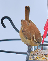 Carolina Wren (Thryothorus ludovicianus). Image taken with a Fuji X-T3 camera and 200 mm f/2 OIS lens with a 1.4x teleconverter.