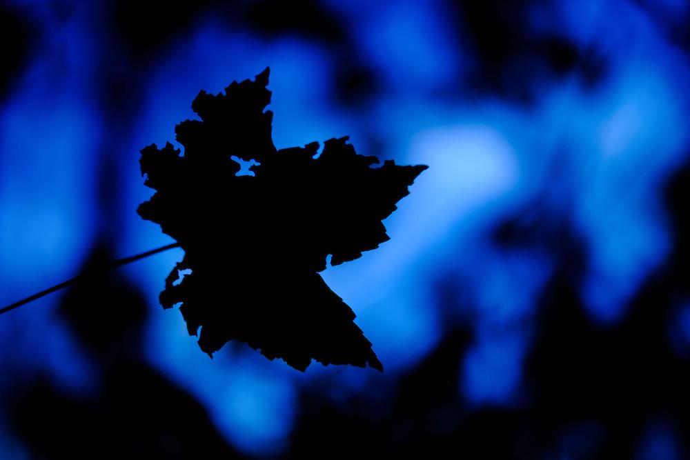 Kinda Blue. End of the day leaf.