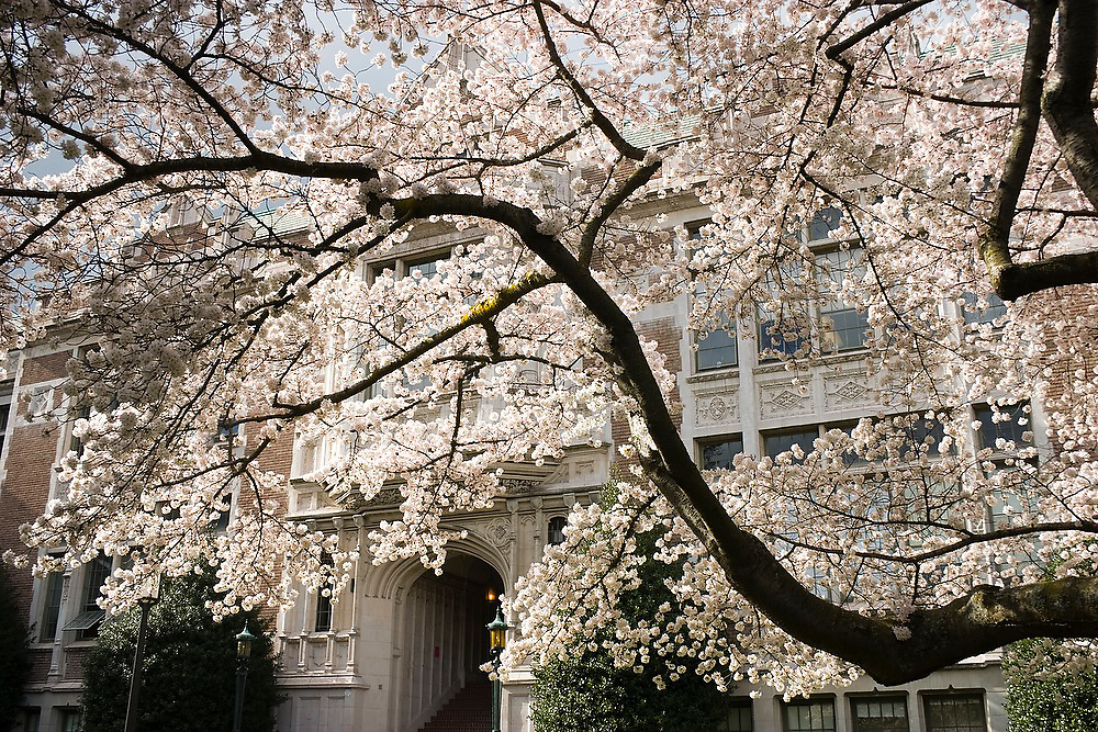 Savery Hall with blooming cherry trees in the Quad on the University of Washington campus in Seattle, Washington.