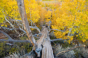 Jeffrey Pine Snag and Aspen in Fall, Inyo National Forest, Mono County, Caifornia