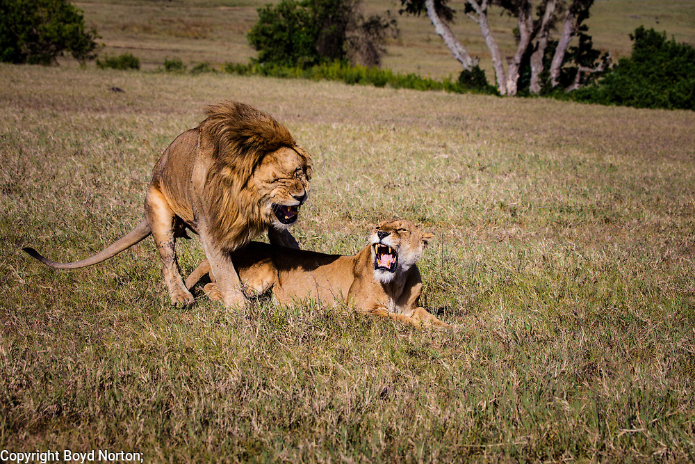 Lions mating, Ngorongoro Crater, Tanzania. Lion population across African continent has plummeted from 200,000 in 1980s to less than 20,000 today.
