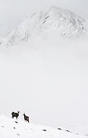 29.10.2008.Chamois (Rupicapra rupicapra) in alpine landscape..Gran Paradiso National Park, Italy