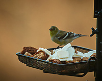 American Goldfinch? on a Bird Feeder. Image taken with a Nikon D5 camera and 80-400 mm VRII lens (ISO 220, 400 mm, f/5.6, 1/400 sec).