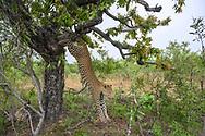 Ein grosses, territoriales Leoparden-Männchen (Panthera panthera) springt von einem Baum, auf dem ein Weibchen Beute versteckt hatte, Greater Kruger Area, Südafrika<br /> <br /> A large, territorial leopard male (Panthera panthera) jumps from a tree on which a female had hidden prey, Greater Kruger Area, South Africa