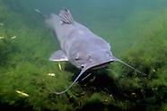 Channel Catfish, Underwater