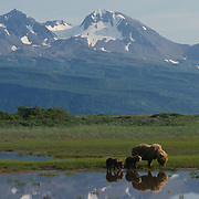 Alaskan Brown Bear (Ursus middendorffi) mother with two young cubs at a river. Spring in Katmai National Park, Alaska