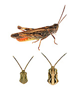 Common Field Grasshopper - Chorthippus brunneus<br /> top= male<br /> bottom left = male<br /> bottom right = female