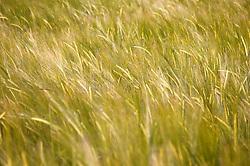 Field of barley,