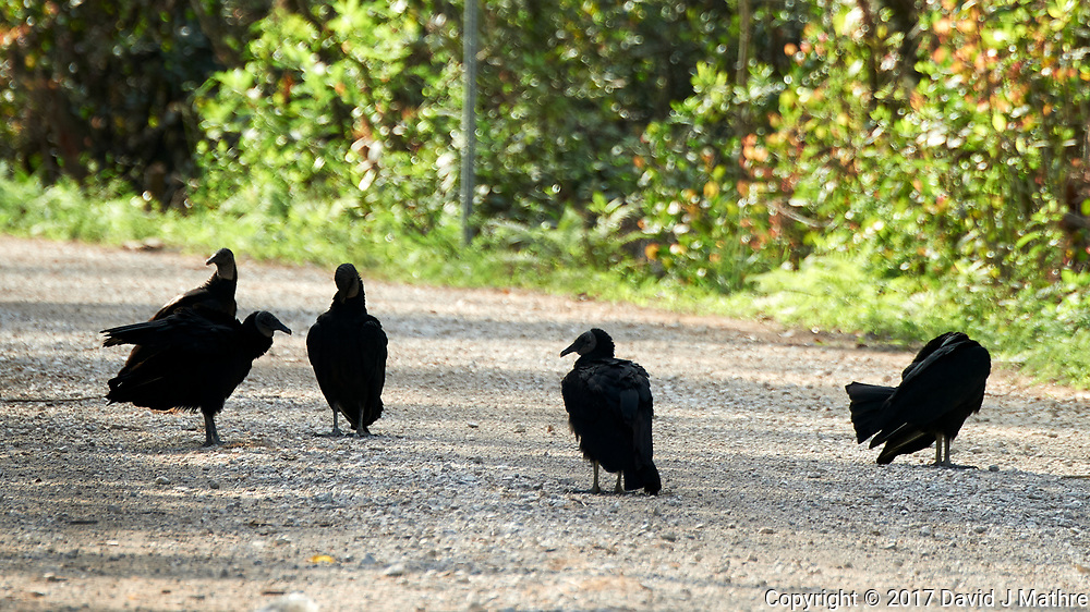 Black Vulture (Coragyps atratus). Loop Road. Big Cypress National Preserve. Image taken with a Nikon D4 camera and 80-400 mm VRII lens.