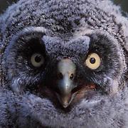 Great Gray Owl, (Strix nebulosa)  Portrait of fledgling. Montana.