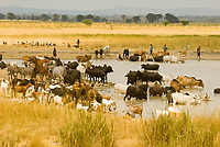 Maasai people with their cattle and goats getting water in a pond, Tanzania