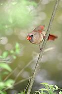 Northern Cardinal, Female, She Sees What She Wants, Cardinalis cardinalis,