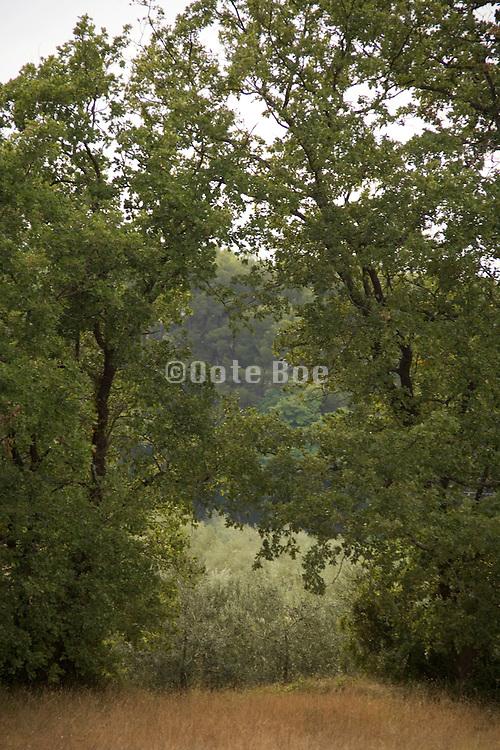 a large tree hedge