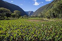 Taro Field in the Waipio Valley.  Waipio Valley was the residence of many early Hawaiian kings.  Waipio means curved water in the Hawaiian language.  Taro is one of the staples of the native Hawaiian diet, providing starch and sustenance for many people in the Hawaiian Islands.