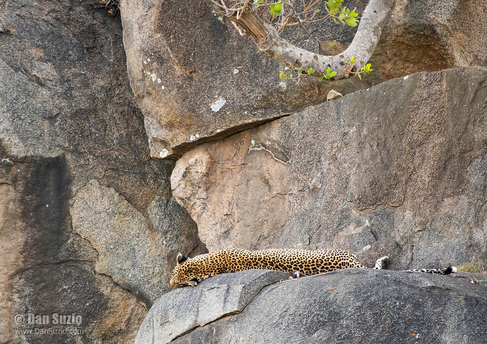 African Leopard, Panthera pardus, rests on a rock ledge in Serengeti National Park, Tanzania