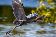 Reddish egret in flight at Ding Darling National Wildlife Refuge in Sanibel Island, Florida, USA