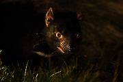 """Wild female Tasmanian Devil photographed late at night at Kingsrun, Geoff King's """"devil restaurant"""" on his land near Arthur River, north west Tasmania. The devils are lured using a staked-out roadkill wallaby, under spotlights beside an old fishing hut on the beach. Tasmania's northwest is the only area not yet affected by Devil Facial Tumour Disease, which has caused a population crash elsewhere on the island.  ..The disease is a contagious cancer that scientists are only beginning to understand, but has spread rapidly through the population, leaving the devil listed as endangered. In December 2009, it was announced that the disease may be related a peripheral nerve cell, called the Schwann cell, which has led some hopes for preserving the devil, at least in terms of quarantine insurance populations."""