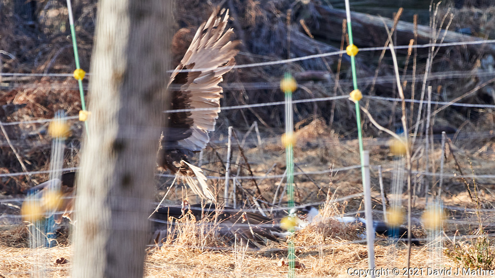 Turkey Vultures chased by cat. Image taken with a Nikon D850 camera and  500 mm f/4 VR lens.