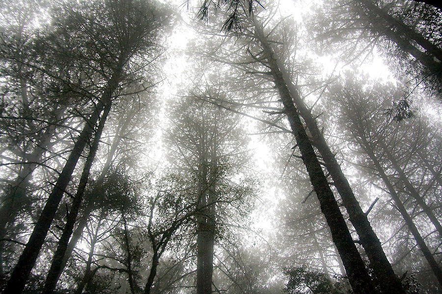 """Pine trees are shrouded in mist outside La Neveria, part of the Pueblos Mancomunados, a network of Zapotec villages in the Sierra Norte Mountains of Oaxaca state, Mexico on July 12, 2008. The Pueblos Mancomunados, literally """"joint villages"""", welcome low-impact tourism with cabins, home stays and a large network of signposted trails and forest roads throughout the spectacular landscape which the communities share."""
