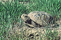 Western Box Turtle (Terrapene ornata) Prefers prairie grasslands and sandy soils.  Dark shell with yellow radiating lines on shell.  This turtle is partially covered with wet sand after digging itself out from its burrow.  Colorado plains.