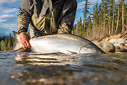 David Page releases a fresh chinook salmon caught one mile upstream from tidewater on BC's Dean River.