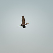 A heron flies over the Mangrove National Park,  one of the Emirate's most important ecological asset.