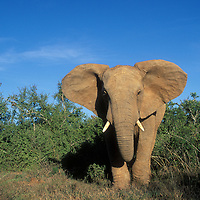 South Africa, Addo Elephant National Park, Angry elephant (Loxodonta africana)  stands at forest edge