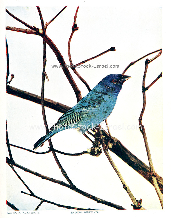 The indigo bunting (Passerina cyanea) is a small seed-eating bird in the cardinal family, Cardinalidae. It is migratory, ranging from southern Canada to northern Florida during the breeding season, and from southern Florida to northern South America during the winter. It often migrates by night, using the stars to navigate. Its habitat is farmland, brush areas, and open woodland. From Birds : illustrated by color photography : a monthly serial. Knowledge of Bird-life Vol 1 No 5 May 1897