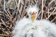 Cute egret chick looking directly at the viewer. It is huddled up together with its sibling (whose head is down) in their nest in the wading bird colony on Stratton Island, Maine.
