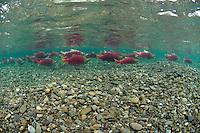 Sockeye Salmon Holding in a clear pool..Kanektok River..shot in Alaska, USA..