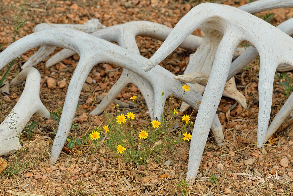 Deer antlers and flowers, Rio Grande City, Texas, USA