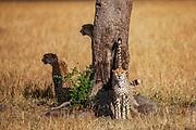 One of three male cheetah brothers ( Acinonyx jubatus ) in a coalition scent marking a tree in their territory, Masai Mara, Kenya