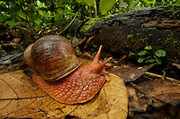 snail near Parakeet clay lick east of Anangu and south of the Napo River, Yasuni National Park, Orellana Province, Ecuador