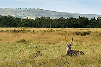 A lone Waterbuck resting in the Masai Mara National Park, Kenya